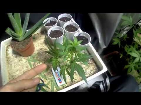 AMVgrows Cannabis Clones With Aloe Vera