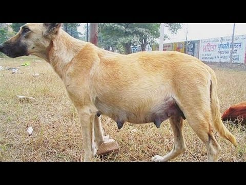 How To Identify Dog False Pregnancy Youtube