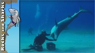 Video Tiger Sharks at Tiger Beach - Scuba Diving in Bahamas download MP3, 3GP, MP4, WEBM, AVI, FLV Agustus 2018