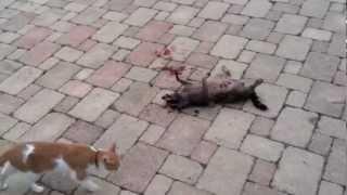 Cat vs. Raccoon (Fight to Death)