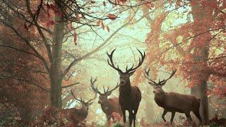 Осень в нашем лесу. Уже все готовы к зиме. И медведи и кабаны и ежи и олени. Документальный фильм