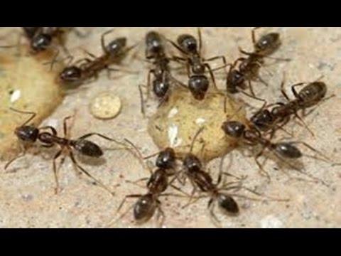 Se Voce Colocar Isto Dentro de Casa, Vai Eliminar As Formigas Para Sempre!