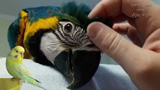 Большие изменения в жизни нашего птенца попугая ара Арчи