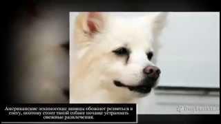Маленькие породы собак Американский эсскимоский шпиц