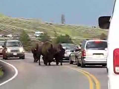 Bison charging