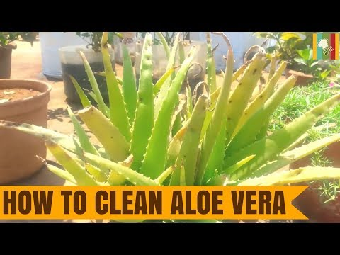 How to Clean Aloe Vera | Katrazhai Benefits in Tamil | கற்றாழை எவ்வாறு சுத்தம் செய்வது?