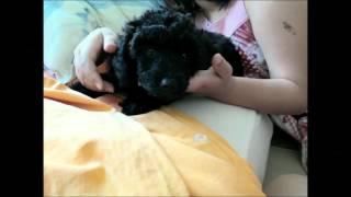 Pudel miniaturowy - szczenię - Poodle miniature - puppy