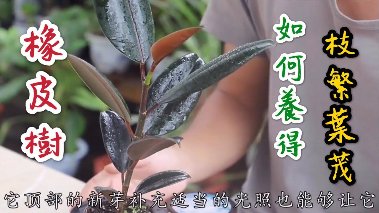 【天天小花農】盆栽橡皮樹,夏天養得枝繁葉的養護方法