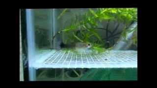 Размножение аквариумных рыб гуппи. Появление на свет мальков.(Как сделать сетку на дно аквариума -https://www.youtube.com/watch?v=SanGaB4kyeA Чем кормить мальков икромечущих рыб-https://www.youtube.c..., 2013-06-03T20:55:52.000Z)