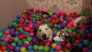 I made a 7500 plastic ball indoor pool for my 2 huskies and 2 kids. Oh and myself! [YOUTUBE ONLY]