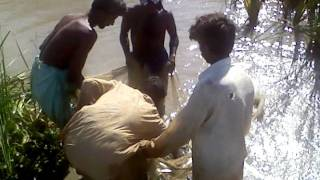 fish seed catching in sindh pakistan.3gp