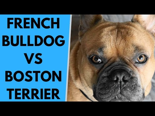 French Bulldog vs Boston Terrier - Differences
