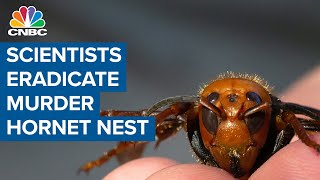 Scientists eradicate murder hornet nest in Washington State