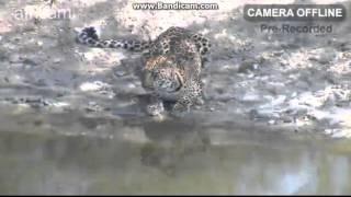 Lampart wodopój Naledi Afryka
