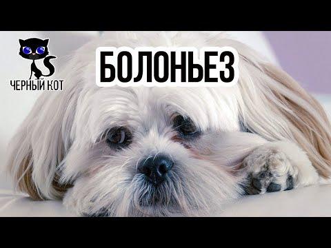 Болоньез (итальянская болонка) / Интересные факты о собаках