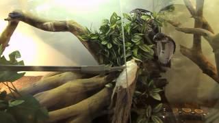 Feeding Naja siamensis (Indochinese spitting cobra)