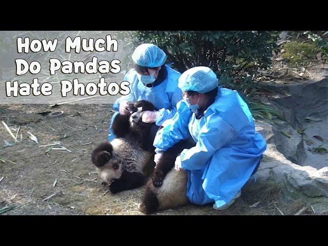 How Much Do Pandas Hate Photos?   iPanda