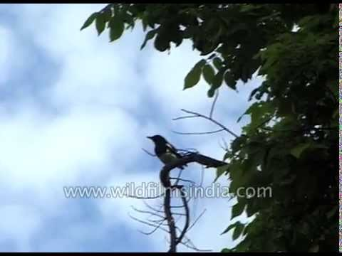Magpie Robin and other nice birds calls - hear this clip for the bird calls
