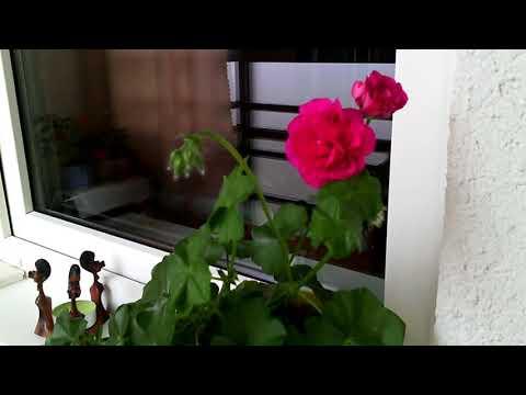 Расцвела плющелистная герань пеларгония сорт AMETHYST. Ампельная. #Цветы как розочки, яркие махровые
