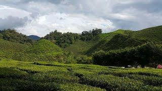 Tea Farm in Cameron highland Malaysia