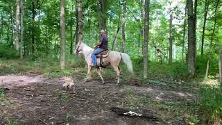 SOLD Prince, gorgeous cremello gaited trail gelding for sale. Excellent horse, well broke