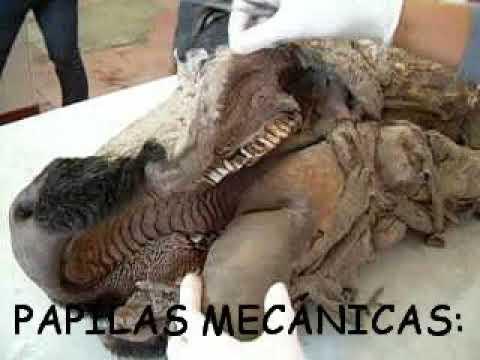 Anatomia veterinaria - cavidad bucal - YouTube