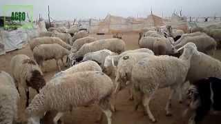 L'élevage ovin au milieu steppique _Steppe Algérienne