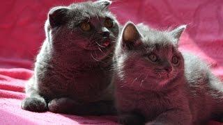 Британские и шотландские вислоухие котята открыли глазки