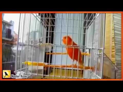 Download Lagu Woooowwww .....!! Kenari Gacor F1   Kenari Juara Nasional   Suara Burung Kenari Durasi Panjang