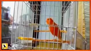 Gambar cover Woooowwww .....!! Kenari Gacor F1   Kenari Juara Nasional   Suara Burung Kenari Durasi Panjang