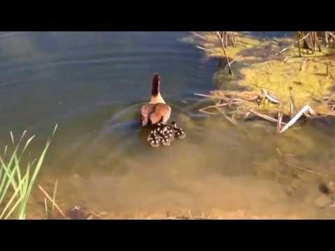 Duck Eaten Catfish And Cork