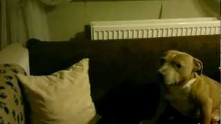 Naughty Staffordshire Bull Terrier