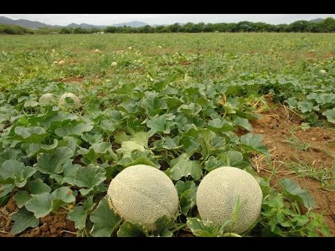 Control De Plagas Con Agrobiológicos En Un Cultivo De Melón  - TvAgro Por Juan Gonzalo Angel