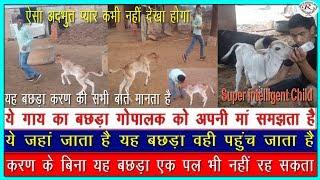 गाय के बछड़े का देखिए अद्भुत प्रेम दृश्य, See the cow calf, the wonderful love scene
