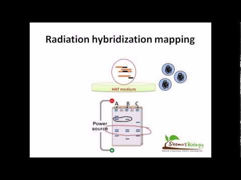 Radiation hybridization mapping