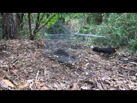 Brush Turkey Vs Trap