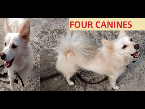 Cute Indian Spitz(Dog)-Dancing and drying after bath