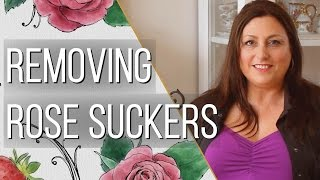 How to Remove Rose Suckers - Gardening Tips