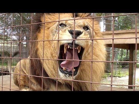 Lion Roar Scares Kid!