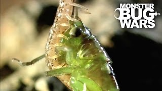 Costa Rican Cellar Spider vs Geophilid Centipede | MONSTER BUG WARS
