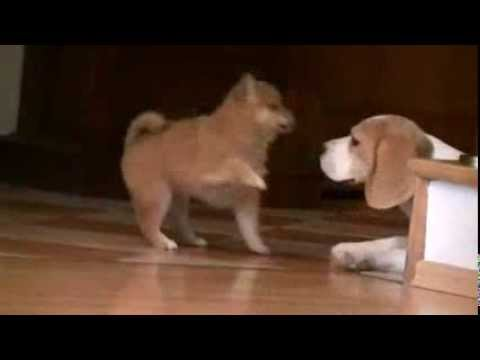 Shiba Inu playing with Beagle