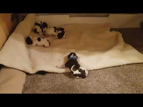 Hour Old English Springer Spaniel Puppies, ESS Puppies