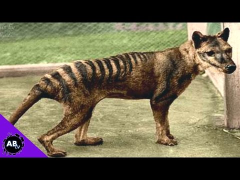 tasmanian-tiger-back-from-the-dead!?-5-weird-animal-facts
