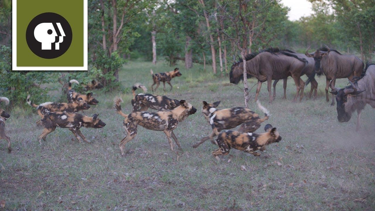 Wild Dogs Take On Wildebeest Youtube