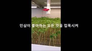 인삼수경재배