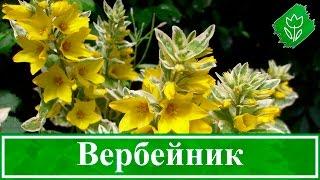 видео Посконник: фото растения и цветов, посадка и уход в открытом грунте