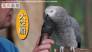 最強口技鸚鵡,任何音效都難不倒他