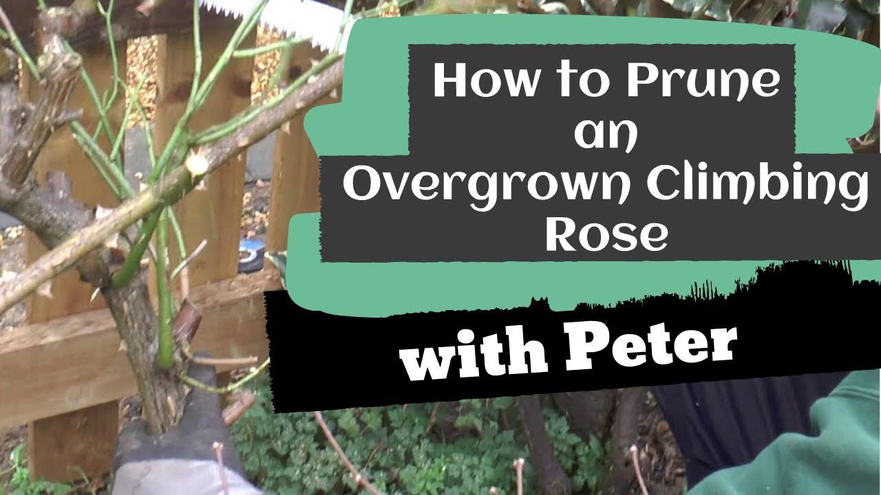 How To Prune An Overgrown Climbing Rose Garden Ideas Youtube