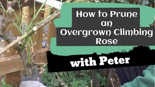 How to prune an overgrown climbing rose | Garden Ideas