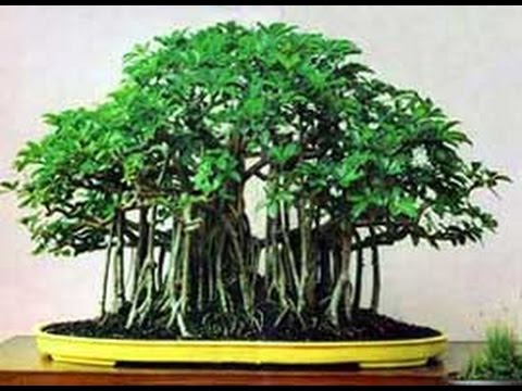 Hawaiian Umbrella Bonsai Tree With Coiled Trunk Youtube